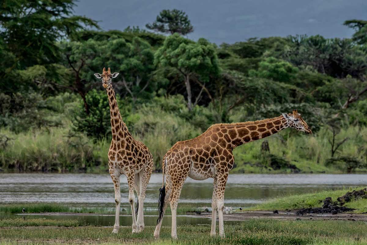The Mara and Lake Naivasha